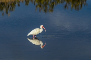 White Ibis, Black Point Drive, Canaveral National Seashore, DSC_4185-Edit,