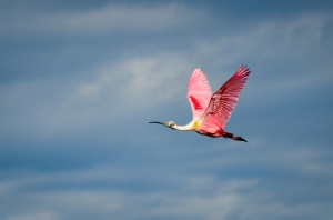 Roseate Spoonbill, Black Point Drive, Canaveral National Seashore, DSC_4227-Edit,