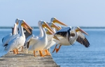 White Pelicans - Sebastian, FL