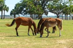 Feral Horses at The Dungeness Mansion - Cumberland Island, GA