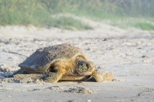 Green Sea Turtle - Melbourne Beach