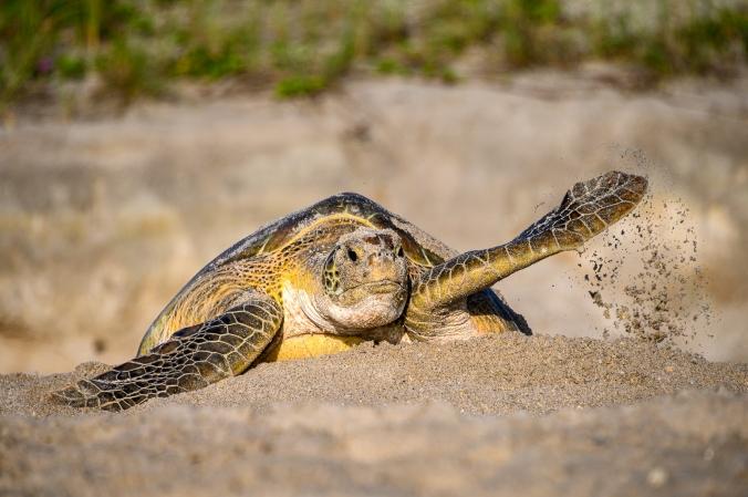 Green Sea Turtle - Archie Carr Wildlife Refuge, FL
